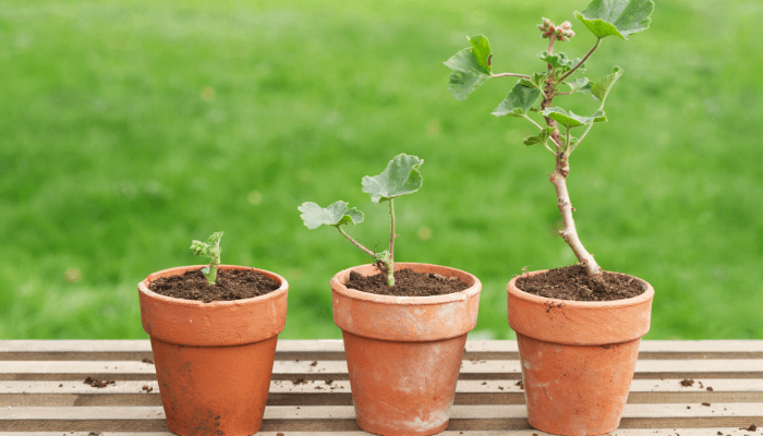 Three potted plants in different growing stages